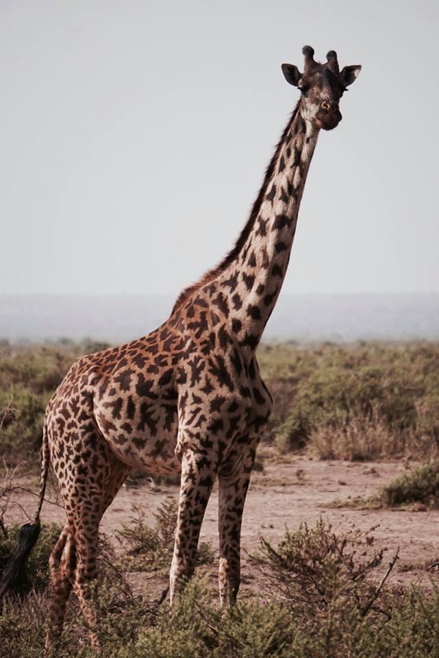 safari_kenya_travel_blogger_giraffa_tsavo_est