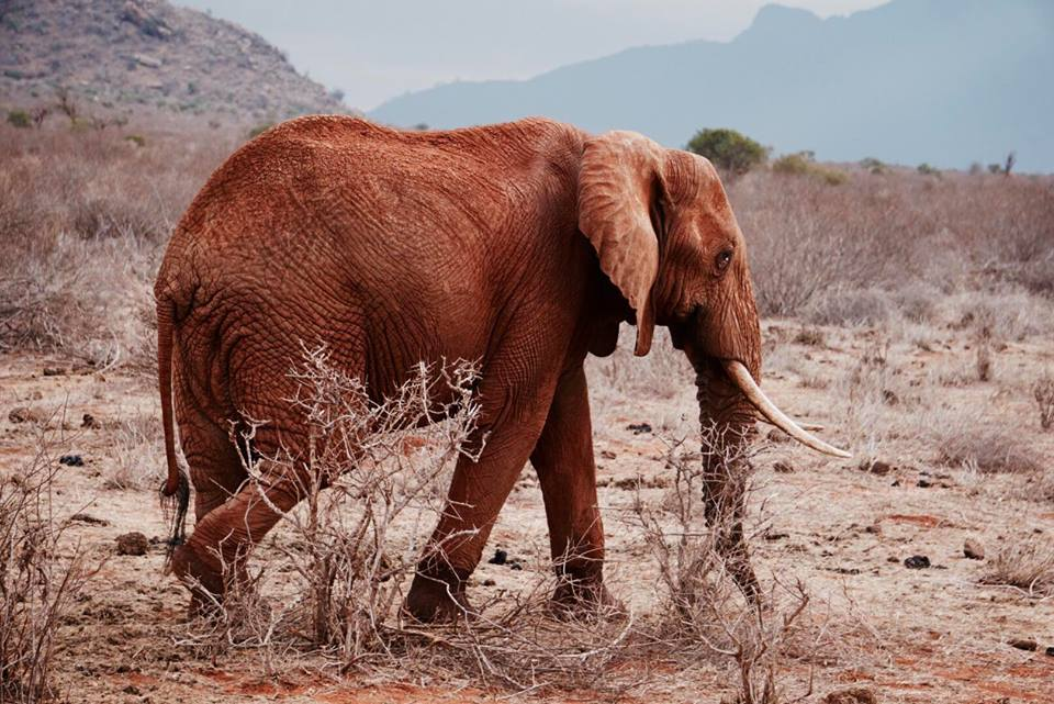 safari_kenya_travel_blogger_elefante_tsavo_est