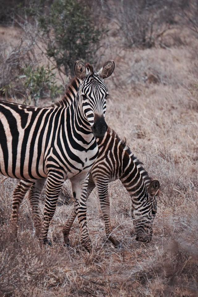 safari_kenya_travel_blogger_zebre_tsavo_est